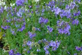 Jakobsleiter  Polemonium caeruleum Wuchshöhe: 60 cm   Blüte: Mai - Juni  Boden frisch feucht