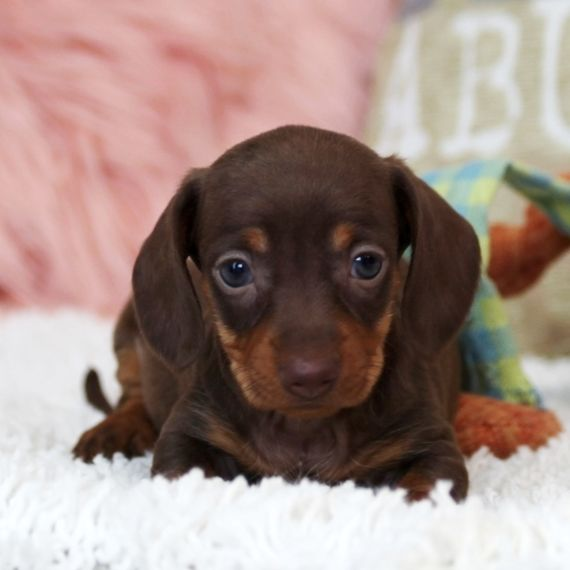 Dachshund Puppy Dachshund Puppies Dachshund Puppies For Sale