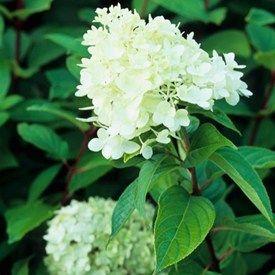 Syrenhortensia 'Limelight' blir 150-200 cm hög, blommar lite senare, augusti-oktober. Limefärgade blommor som sedan går mot rosa och grönt.