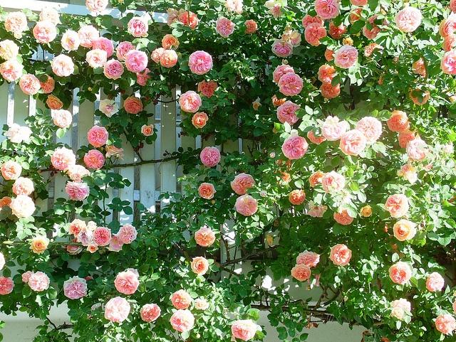 1082 best images about rosen kletter rosen climbing. Black Bedroom Furniture Sets. Home Design Ideas