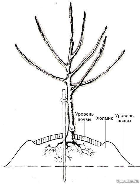 Посадка дерева на холмик в пониженных местах: