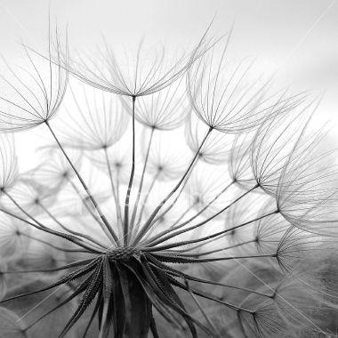 Fleur de pissenlit, Image en noir et blanc, Graine, Fleur, Parachute Photo libre de droits