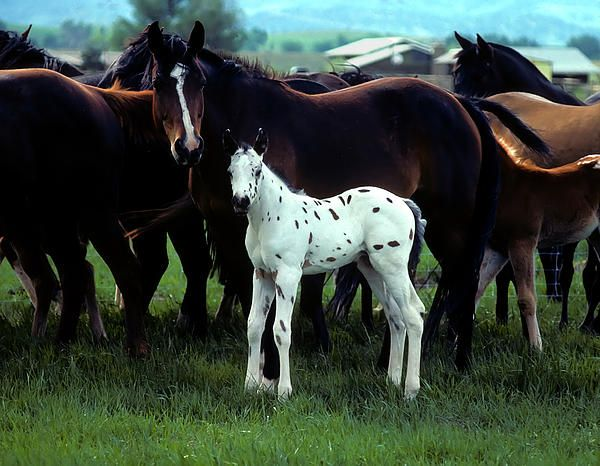 Equine, Baby App, White Spots, Beautiful Hors, Amazing Breeds, Appaloosa Foals, Horsesappaloosafoalwhit Spots, Wild Hors, Animal