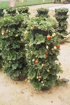 Jak se také dají pěstovat jahody