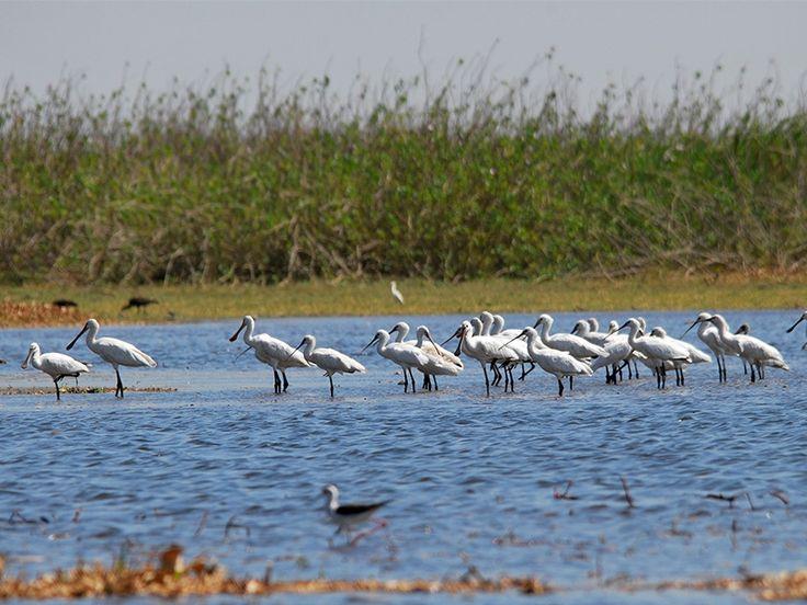 Nandur Madhmeshwar Bird Sanctuary - in Nashik, Maharashtra.