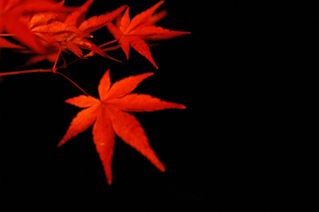 Lighten-up MOMIJI in the dark by yoshiko314, via Flickr
