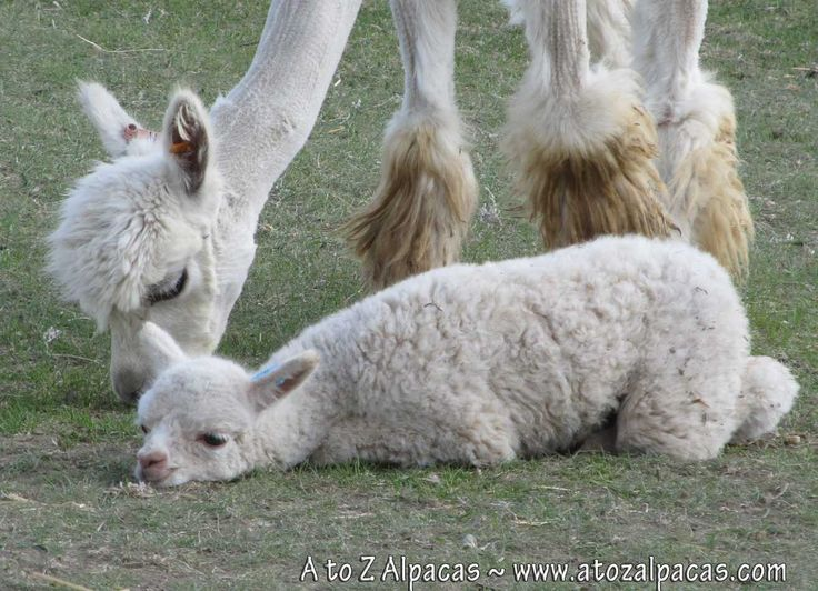 Baby alpaca having a snooze next to mommy :)
