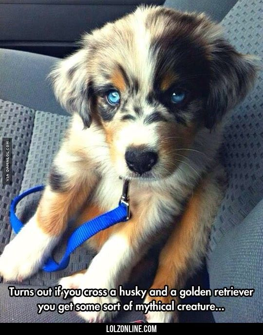 If You Cross A Husky And A Golden Retriever #haha #funny...Looks like an Australian Sheep Dog to me