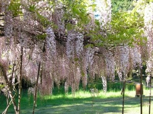 Pruning Wisteria:  How to Trim a Wisteria