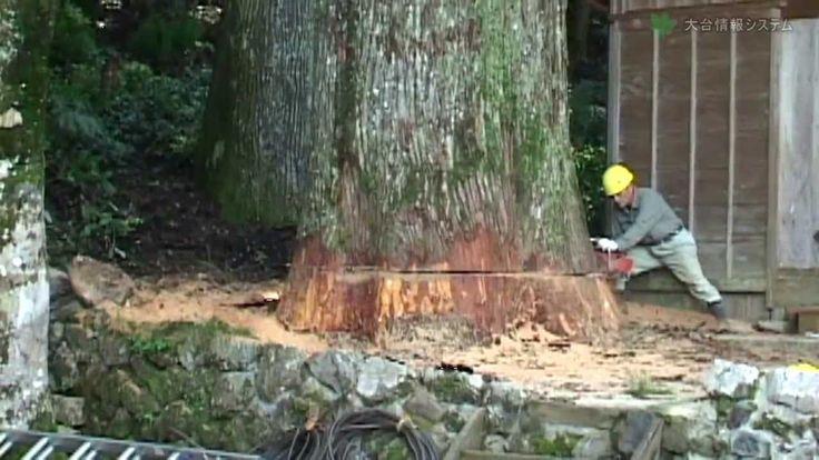 樹齢400年の巨木倒伐 Big tree felling of 400 year old Japan cedar