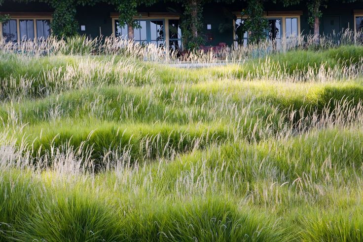 Pennisetum 'Fairy Tails' Fairy Tails fountain grass An introduction from Greenlee Nursery.  Clumping, soft, blue-green foliage is topped by  vertical foxtails that are showy on the plant from April...