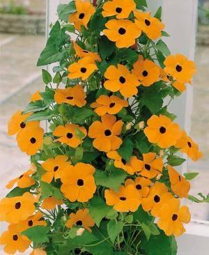 Suzanne aux yeux noirs orange - Plante à croissance rapide - A rempoter