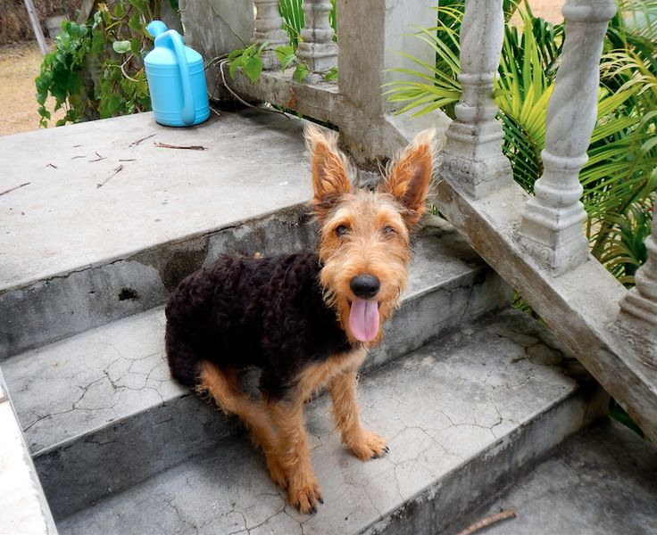 Happy Airedale Murray
