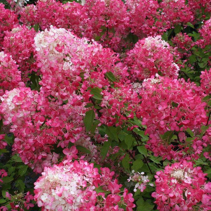 Hydrangea paniculata Diamond Rouge®