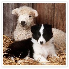 border collie,, hey I was hearding them then we got hearded here together