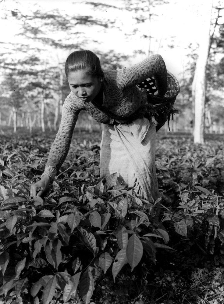 Theecultuur/theeplantage Indonesië: een theeplukster op West-Java, eind 1947.