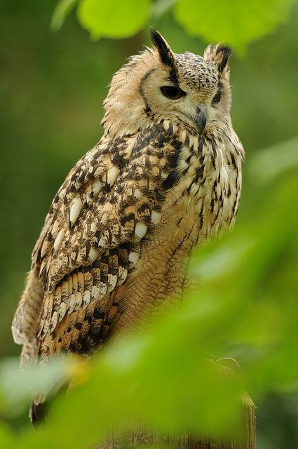 Bengal Eagle Owl - by Andy Silver [Flickr]