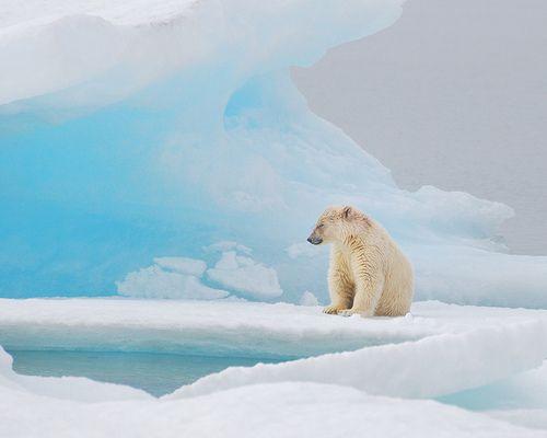 Polar Bear ready for a nap in Resolute Bay, Nunavut | Canada(by...