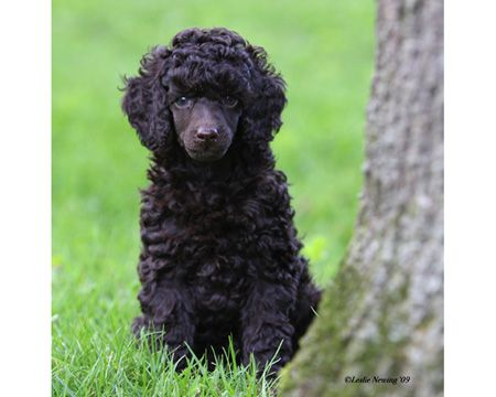 black standard poodle puppy - photo #28