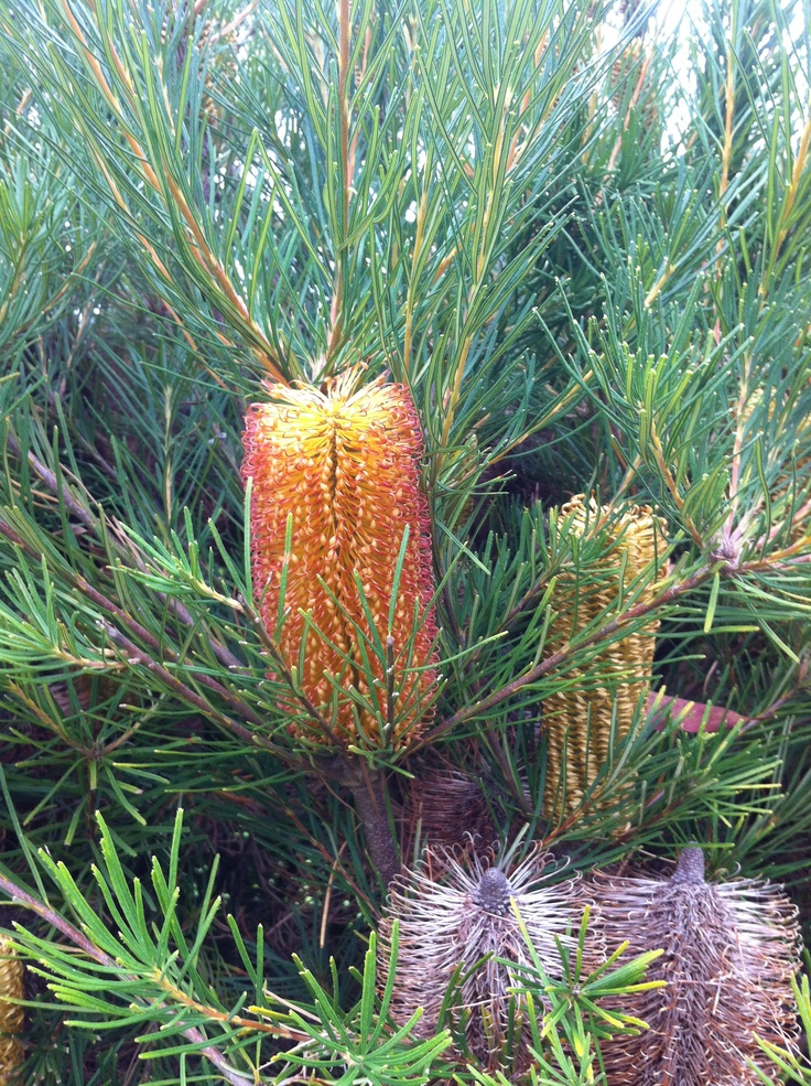 Bottlebrush, Healesville VIC, March 2012.
