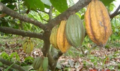Fabricantes de chocolates mexicanos interesados en cacao orgánico ...