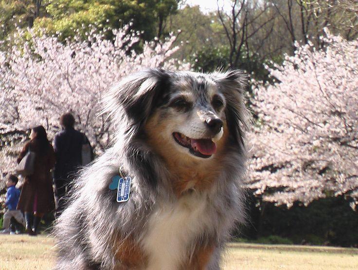 Cherry blossoms at Kitanomaru Park.