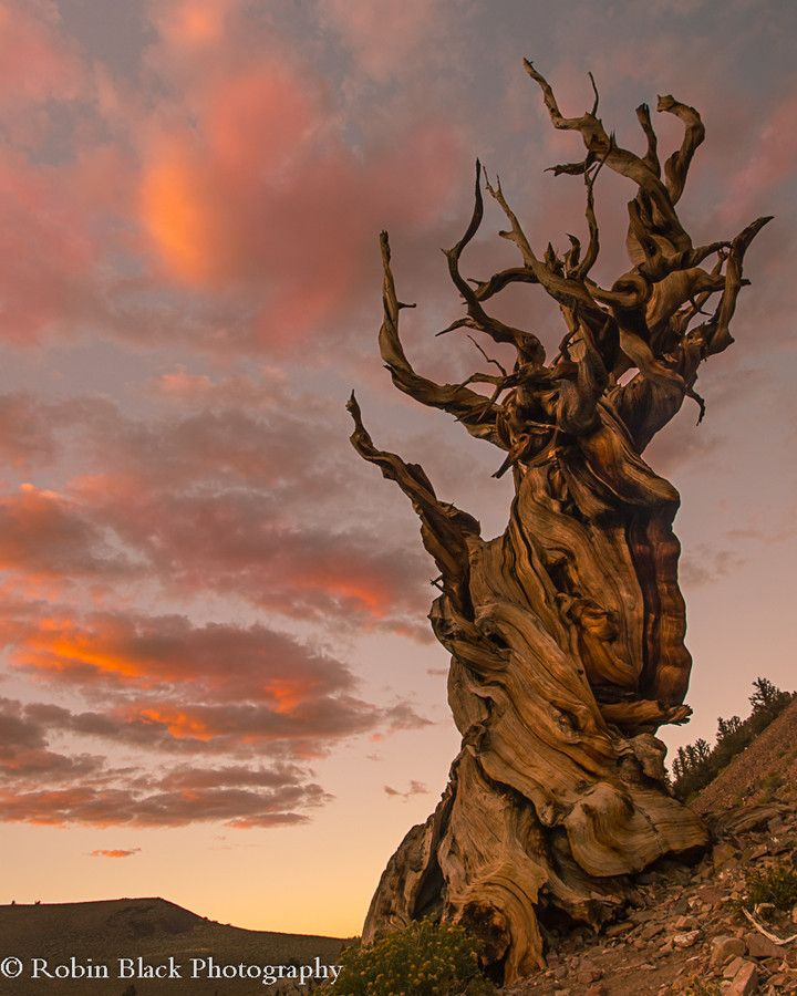 Twisted by Millennia (Ancient Bristlecone Pine, White Mountains) by Robin Black on 500px