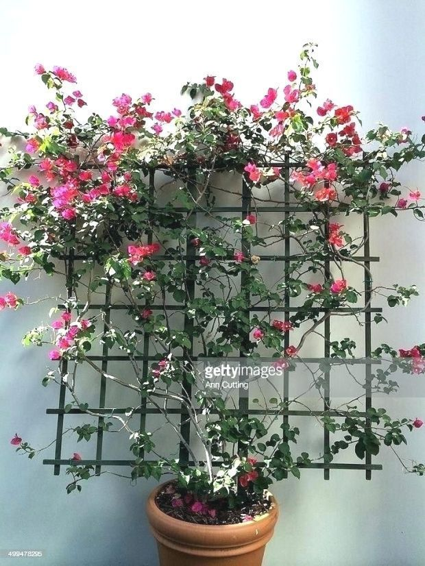 Wonderful Bougainvillea Trellis Ideas Best Of Bougainvillea Garden Ideas Source Bougainvillea Garden Ideas S In 2020 Trellis Plants Bougainvillea Trellis Plants