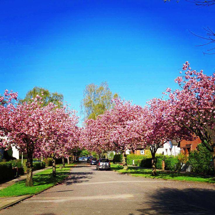 Hamburg im Frühling. Magnolienbäume laden zu einem Spaziergang ein. #Deutschland #Germany #Hamburg  #frühling #reisen #Urlaub #reiseblogger #travel #reiseblog #travelblog #travelblogger
