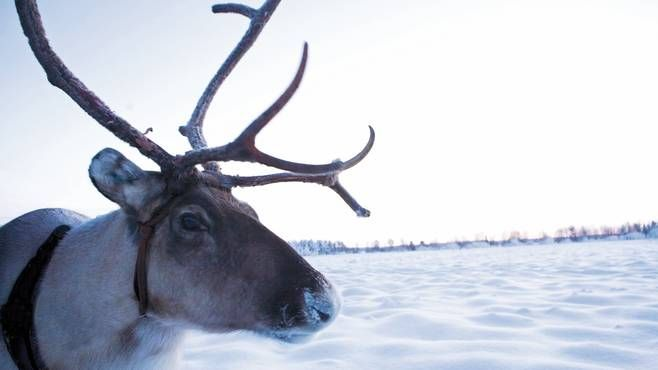 Find out about the top things to do in Lapland. Whatever you're looking for in a holiday to Lapland, there are plenty of activities.