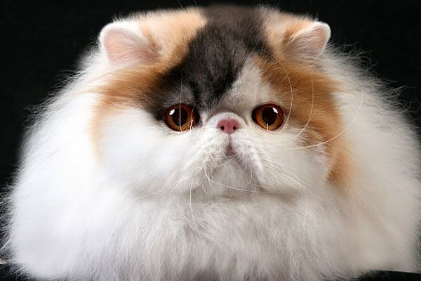 Bella Mia Cattery of Exotic Shorthair and Persian Cats - Birstein Maybelline of Bella Mia