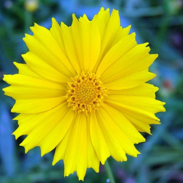 Fiori Gialli Tipi.Coreopsis Coreosside Types Of Flowers Wild Flowers List Of