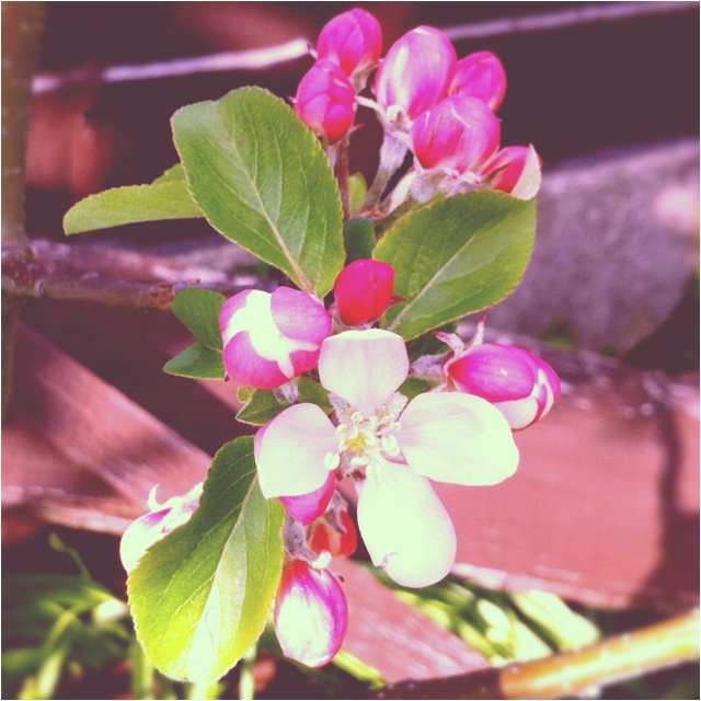 First apple blossom of the season on my tree <3