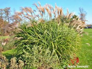 Pick the Right Ornamental Grass