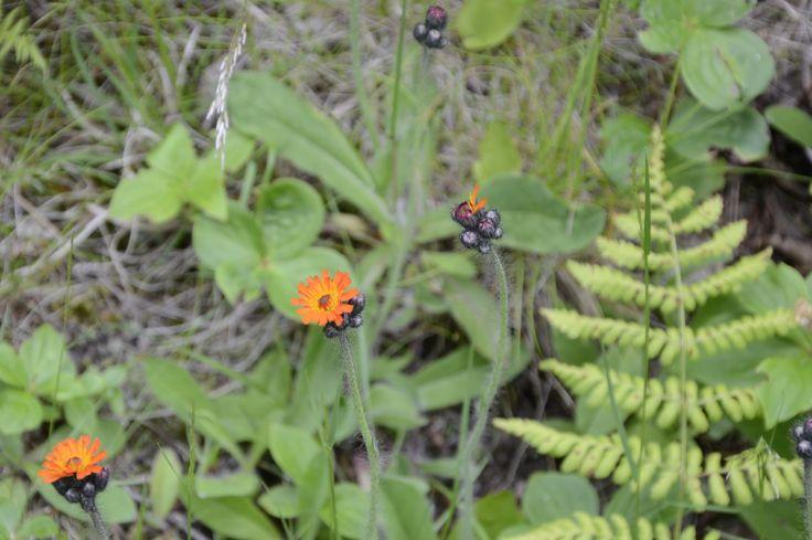 Mouse ear, hawkweed. Hieracium pilosella.