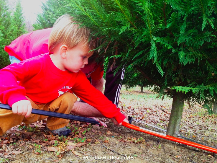 Yearly Traditions   U Cut Christmas Tree Farm   Cedar Hill Farm