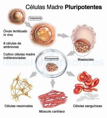 Células madre Pluripotentes Aquellas que tienen la capacidad de convertirse en cualquier tipo de célula del cuerpo humano.