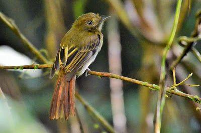 flautim-pardo_Cnipodectes subbrunneus_Brazilian Birds
