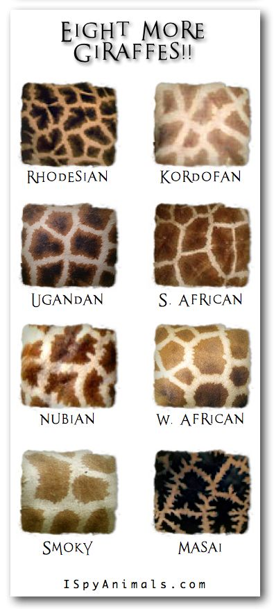 """And You Thought There Was Only ONE!"" -- From ""I Spy Animals"" -- Eight giraffe species, in addition to the Reticulated giraffe, the one that's most familiar to us (click through to see that one)."