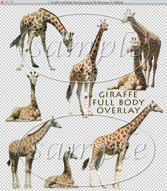 Best 25+ Images of giraffes ideas on Pinterest Giraffe drawing - griffe für küche