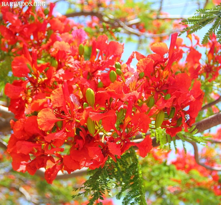 32 Best Images About Barbados Flora: Tropical Splendor! On