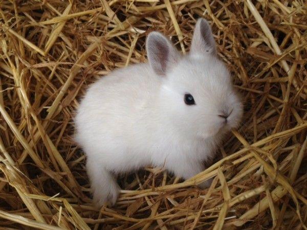 Buy Rabbit Munich, Buy Dwarf Rabbit Munich, Dwarf Rabbit Breeder Munich