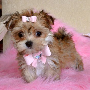 A Morkie puppy (Maltese x Yorkie) - I think I just found my favorite mix!