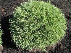 Thuja occidentalis 'Bobozam' MR. BOWLING BALL  - Plant Finder