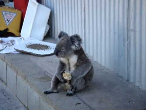 Sensation - Koala eating an apple!