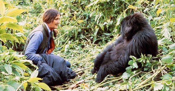 Angol listening, szöveghallgatás feladat. A Gorillák a ködben című film Sigourney Weaver színésznőnek Golden Globe díjat hozott, a kihalás szélén álló hegyi gorilláknak pedig azt, hogy világszerte emberek milliói ismerték meg elszomorító helyzetüket.