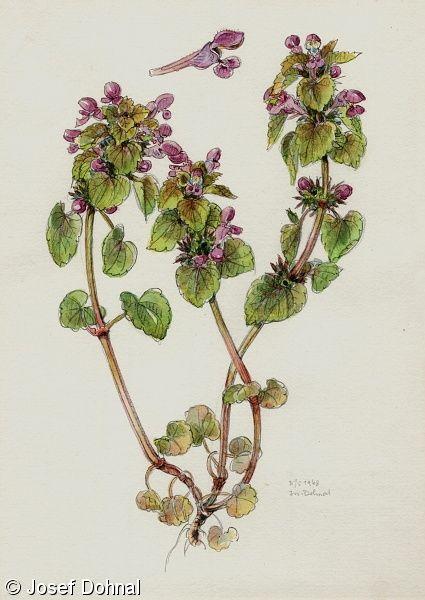 Hluchavka nachová(Lamium purpureum)