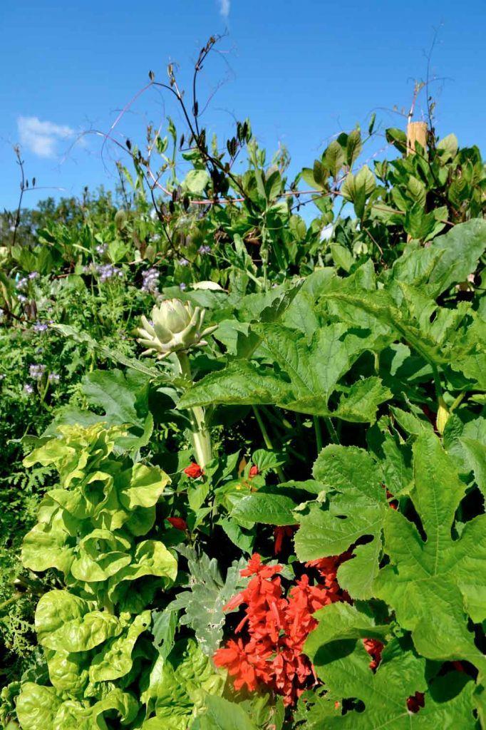 Det är roligt och vackert att plantera grönsaker tätt. Här växer kronärtskocka, spagettipumpa, sallad, salvia, luktärt, honungsfacelia och klockranka.