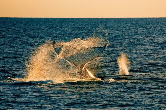 Whale watching is popular in #queensland Great photo, or was it a 'fluke' :-)