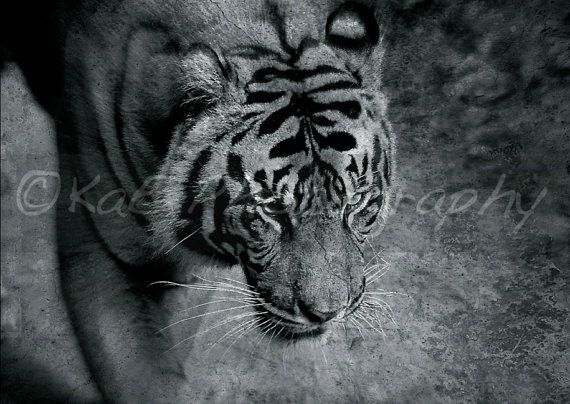 Tiger On The Prowl  B&W   5 x 7 Print by KaEPhotography on Etsy  For the animal lover!!